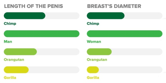 Image: The length of the erect men's penis and size of the women's breasts in comparison with primates, respectively